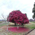 倉敷・総社方面へ。調査の前にちょっと散策。山茶花の香りと春の訪れ。