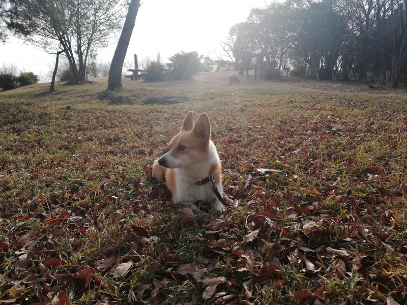 岡山市の探偵犬 営業担当のコーギー部長
