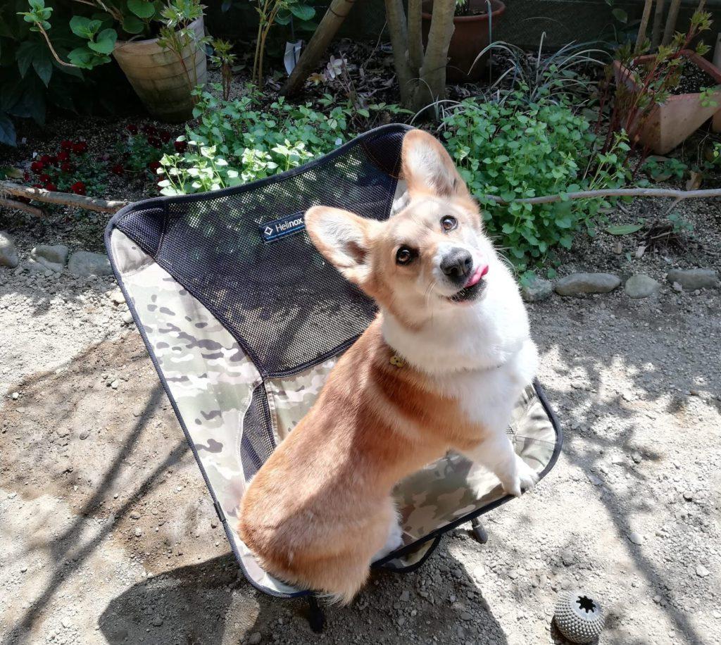 岡山の探偵社の看板犬 コーギー営業部長