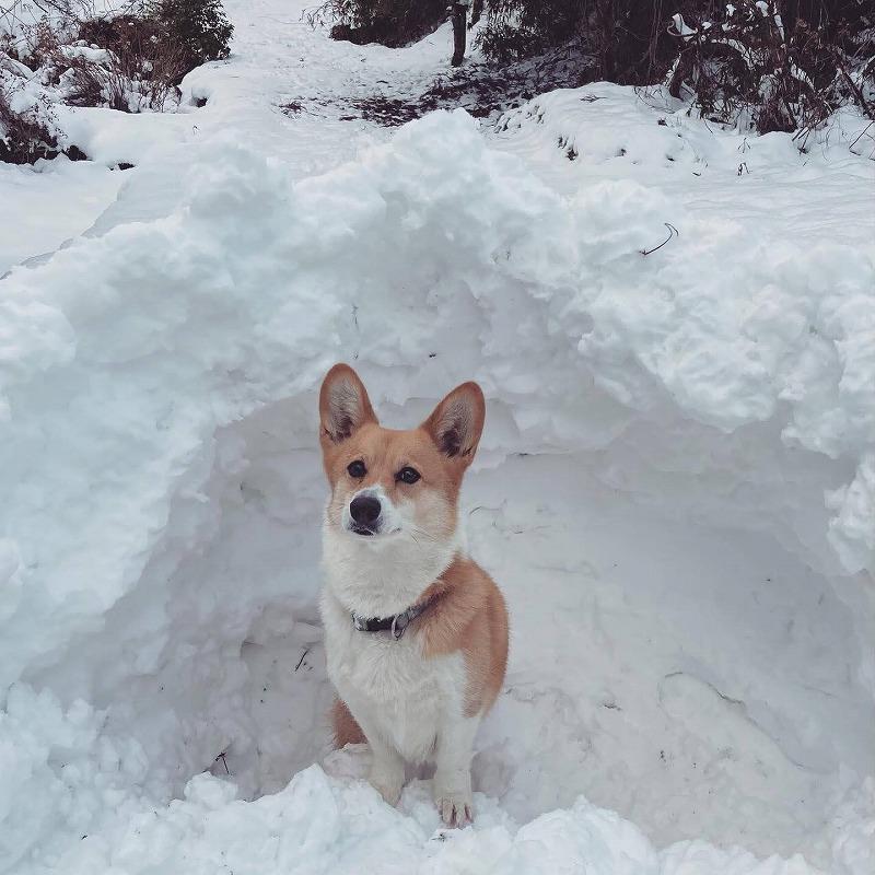 探偵犬 コーギー部長